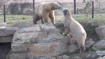 L'orso polare arriva nel parco e viene accolto dall'altro orso: un'amicizia nata immediatamente