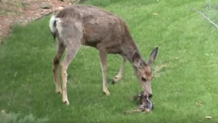 Riprende un cervo mentre sta partorendo: ecco la nascita del piccolo