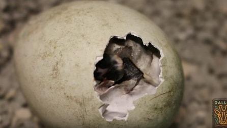 Si schiudono le uova ed ecco chi viene fuori