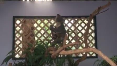 Lo strano verso del koala nella stagione dell'amore