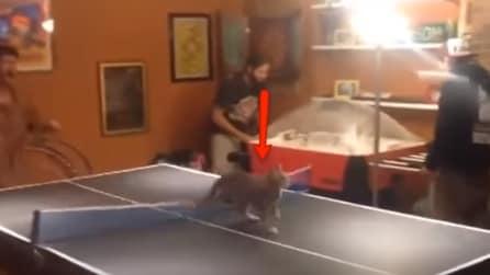 Mentre giocano a ping pong un gatto sale sul tavolo e diventa il grande protagonista