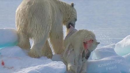 Cannibalismo animale: perché un orso polare adulto mangia un cucciolo?