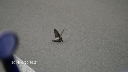 Rondine maschio fa sesso con altro esemplare maschio, morto