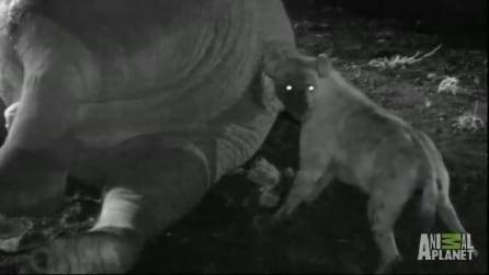 La iena infila la testa nell'ano dell'elefante per divorarne la carcassa