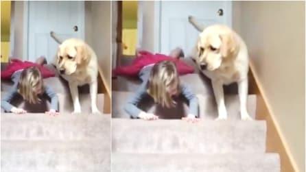 Il cane asseconda teneramente la padroncina: ecco come scende le scale per imitarla