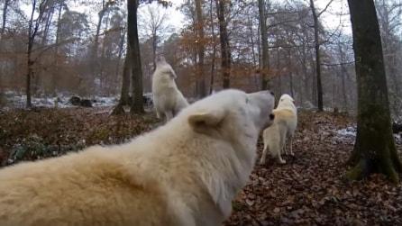 L'intenso ululato del branco di lupi bianchi