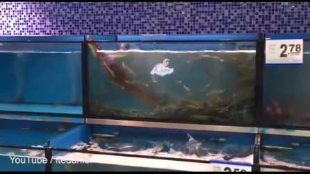 L'anguilla intelligente che fa capolino dalla vasca dei gamberi