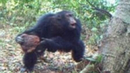 """Gli scimpanzè credono in Dio? Lo studio rivela la costruzione di un """"santuario"""""""