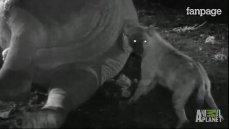 A hiena enfia a cabeça no ânus do elefante. A razão ìmacabra