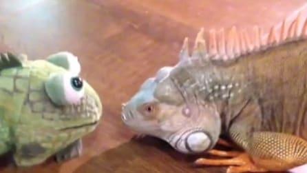 Faccia a faccia con un pupazzo: la reazione dell'iguana