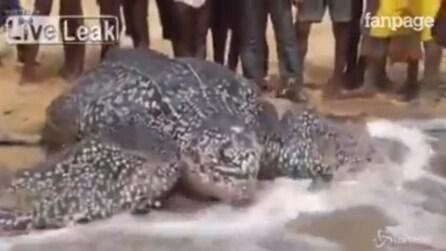 L'enorme tartaruga gigante ritorna in mare dopo le cure: l'emozionate momento