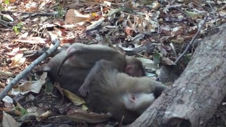 La scimmietta piange per la perdita della mamma: la scena che vi spezzerà il cuore