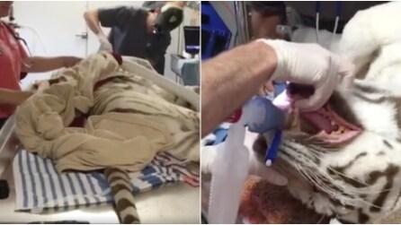 L'operazione alla bocca della tigre: ecco come procedono i veterinari