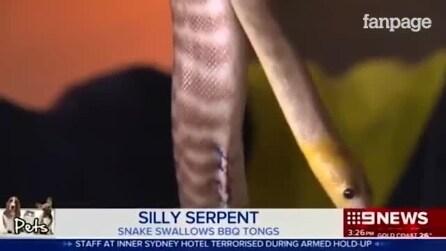 Você não vai acreditar o que esta cobra devorou para precisar de cirurgia