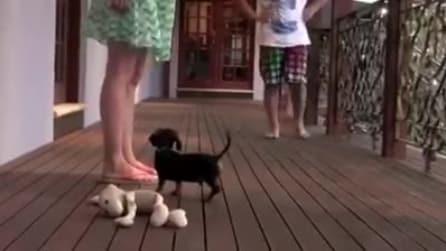 Il cane da guardia più piccolo del mondo, guardate che fa per difendere la padrona