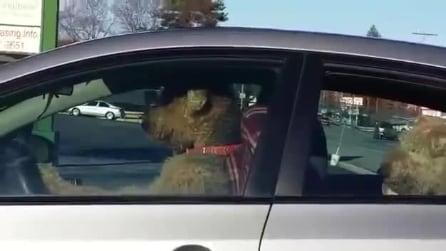 Il cane è impaziente di aspettare, suona il clacson per richiamare il padrone