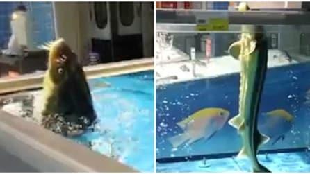 Un'insolita scena ripresa al supermercato: quello che fa questo pesce vi farà morire dal ridere