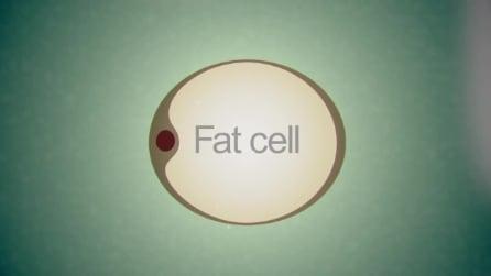 Trasformare le cellule adipose in staminali per riparare i tessuti