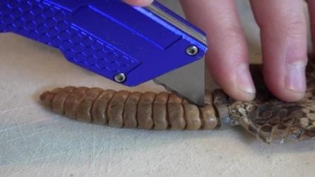 Apre con un taglierino la coda del serpente a sonagli: quello che scopre vi stupirà