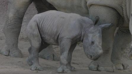 Il piccolo rinoceronte impara a camminare, le tenere immagini
