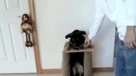 Il cane che mangia in piedi: sta su due zampe e si tuffa nella ciotola