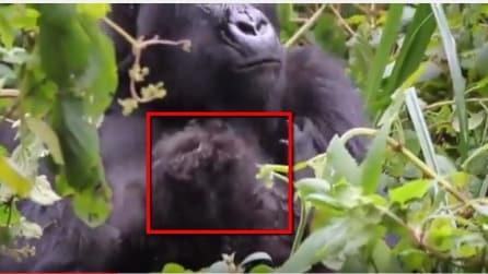 Mamma gorilla e i due gemellini: un concentrato di dolcezza