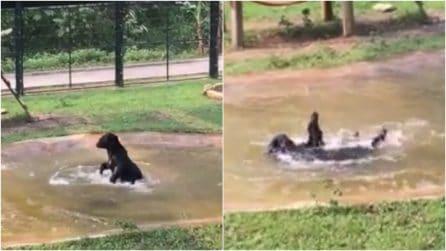 Dopo una vita di torture in gabbia, l'orso ritrova la libertà: la sua reazione è emozionante