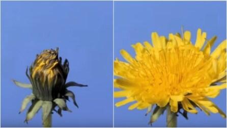Come sboccia un fiore in Time lapse: un vero spettacolo