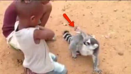 Indica con la zampa dove vuole ricevere i grattini: un lemure così non l'avete mai visto
