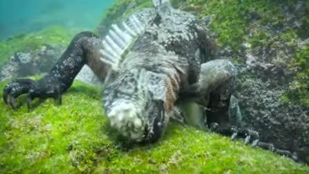 Avete mai visto un'iguana marina? Un vero mostro marino