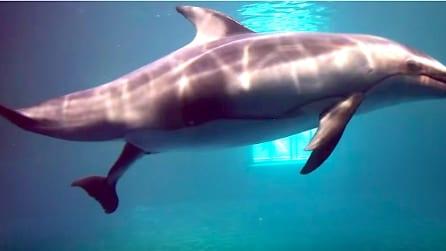 La mamma partorisce il piccolo delfino: le emozionanti immagini della nascita