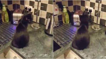 Il gatto è sul mobile della cucina: quello che accade vi farà morire dal ridere