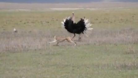 Lo strano incontro tra un ghepardo e uno struzzo: l'epilogo è sorprendente