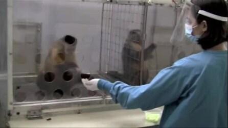 La scimmia si arrabbia quando si accorge di essere presa in giro: la divertente reazione