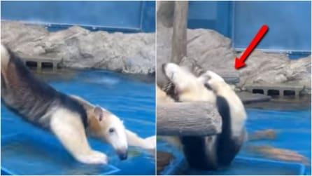 Ha paura di cadere in acqua: quello che fa questo simpatico animale vi divertirà tantissimo