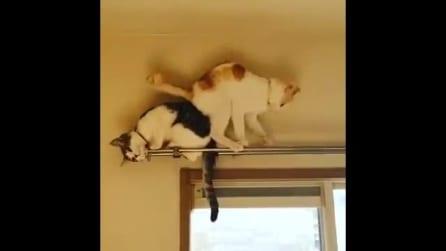 """Il gatto non riesce a scendere dalla tenda: l'inaspettata """"scorciatoia"""" per ritornare giù"""