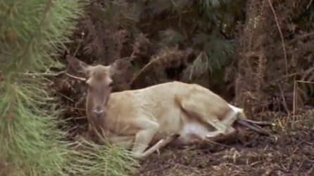 Vede un cervo disteso nel bosco ma guardate cosa sta per accadere