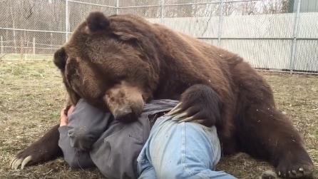 L'orso gigante che crede di essere un cucciolo e ama le coccole