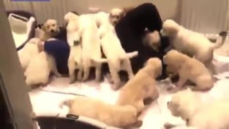Si stende sul letto ma i suoi 17 cuccioli non lo lasciano: il pieno di tenerezza