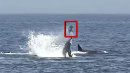 Un'orca assassina insegna al suo cucciolo come procurarsi il cibo