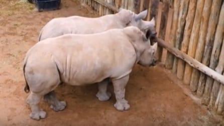 """Conoscete il verso dei cuccioli di rinoceronte? Un'insolita """"sinfonia"""""""