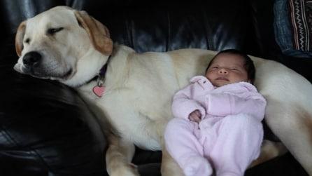 Il labrador e la piccola schiacciano un riposino insieme, la scena più tenera che esista