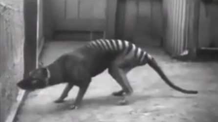 Striature sulla schiena e coda da tigre: le rare immagini di uno degli ultimi tilacini
