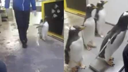 Genova, tutti in fila pronti a salire sulla bilancia: le immagini esilaranti dei pinguini