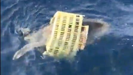 La tartaruga lotta per la vita bloccata in un cestino di plastica: la trappola mortale dell'uomo