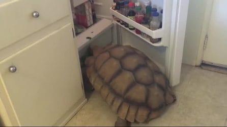 La tartaruga apre il frigorifero, quello che fa è esilarante