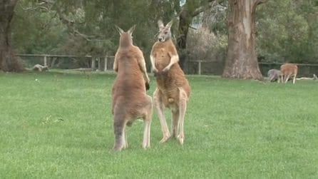 Due canguri si alzano in piedi e quello che fanno lascia il turista a bocca aperta