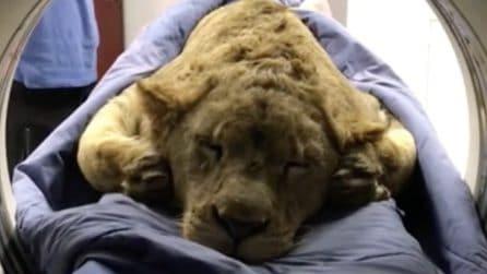 Aveva un problema con il midollo spinale e non solo: la dura lotta del bellissimo leone
