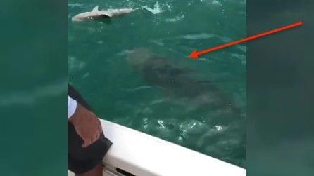 C'è un pesce ancor più spaventoso dello squalo: la cernia divora il predatore