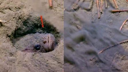 Il pesce è nascosto e attende la sua preda: l'attacco è pazzesco